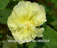 100の巨大なハイビスカスの花の種HardyのDiyの家の庭の鉢植えまたは庭の花の植物、