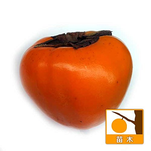 カキ(柿):はちや(蜂屋)4号ポット[百目柿 極上の干し柿になる渋柿][苗木] ノーブランド品