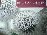 花苗 プレミアム宿根草 エキノプス ホワイト 3号ラベル付き苗