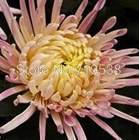 鉢植えの菊bonsais簡単に家族のバルコニーの花菊bonsaisリングシーズンbonsais 30pcs:11