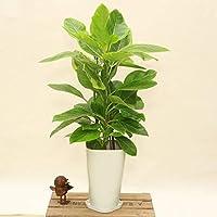 観葉植物:フィカス アルテシーマ*白プラポット 6号