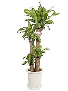 観葉植物 幸福の木(ドラセナ)8号プラスチック鉢