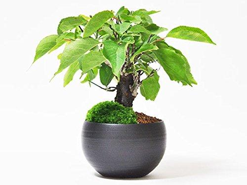 盆栽妙 野梅の盆栽 ミニサイズなのに太い幹 花つきの良い野梅です。 樹高12cm×幅10cm