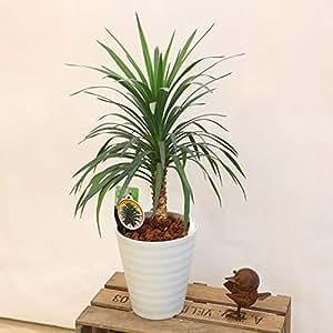 観葉植物:ユッカ アロイフォリア*白セラアート
