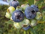 ブルーベリー 苗木 バルドウィン ラビットアイ系 3年生 根巻き大苗 ブルーベリー苗 blueberry