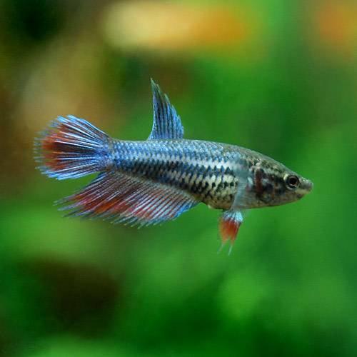(熱帯魚)ベタ・クラウンテール 色指定なし(メス)(1匹) 本州・四国限定[生体]
