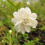 モッコウバラ 白八重 2年生苗×2ポット