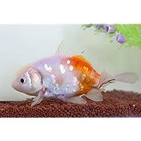 (国産金魚)現物個体!桜東 約10cm (生体1022-12)