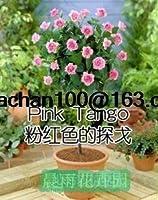 バイオレット:100中国ローズツリー種子バラエティ理想理想diyヤード盆栽花パーフェクトギフトあなたが愛する人へ