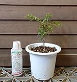 モミの木「小さな本物のモミノキ:4寸鉢植え」