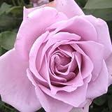 バラ苗 つるブルームーン 国産新苗4号ポリ鉢 つるバラ(CL) 返り咲き 紫系