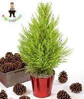 !新しい50PCSミニマルチカラーITALIANツリーの人気の盆栽の鉢植えのDIYホーム&アンプについて;庭園はINGの:4