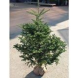 【ノーブランド品】もみの木(モミノキ):ウラジロモミ 樹高1.2m根巻き