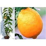 とげ無し[トゲナシ]レモン4~5号ポット[柑橘・かんきつ類苗木] ノーブランド品