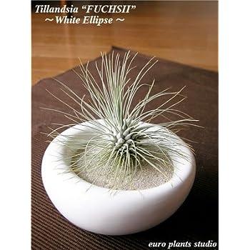 エアープランツチランジア・フックシィ / ホワイトイリプス / AirPlants Tillandsia・Fuchsii / White Ellipse / インテリアグリーン / ミニ観葉植物