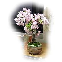 八重桜 旭山桜盆栽 咲いたときはリビング お花見 桜盆栽 綺麗な八重のピンクのサクラです