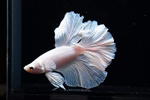 Sinbad (シンドバッド) ベタ ハーフムーン プラチナムホワイト オス 1匹(生体)