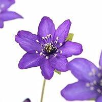 (山野草)ユキワリソウ(雪割草) 紫花 標準花 3号( 3ポットセット) (休眠株)