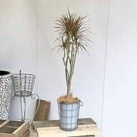 観葉植物:ドラセナ レインボー アンティークメタルバケツカバー*大型ヤマト便 ココヤシ 35-012