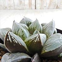 niハオルチア レツーサ交配×オブツーサ NS2-2/3 多肉植物 カクタスニシさん苗 ハオルチア 0611-091 現品販売 7.5cmポット