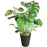 モンステラ 観葉植物 インテリア 大型 大 ブラックセラアート鉢 8号