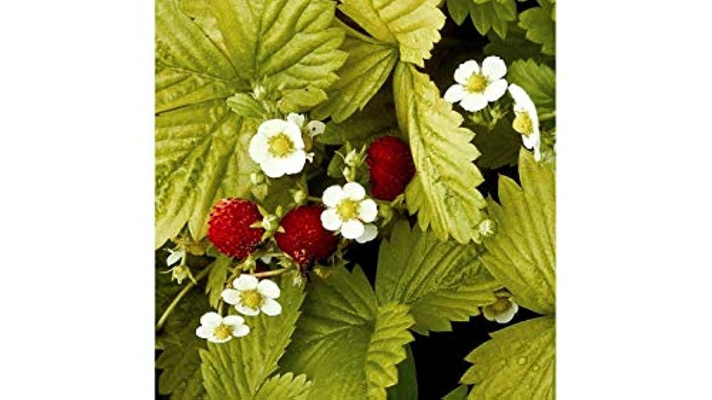 ステープル保持羽種子パッケージではありません植物:400 SeedsD s'Alexandria香りスウィート