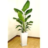 緑俱良部 【観葉植物】ストレリチア・オーガスタ 7号角高陶器鉢(白)