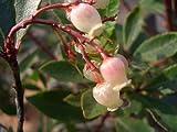 赤花ヒメイチゴノキ(ストロベリーツリー)