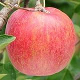 ガーデンストーリー リンゴ シナノスイート 《丸葉台》 1年生 接木苗《素掘り苗》