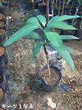 キーツマンゴーの苗木(3年木)