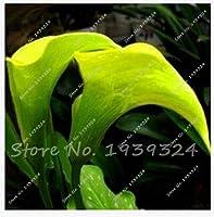 プロモーション盆栽とカラフルなオランダカイウユリ希少植物花80種子