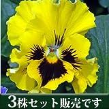 パンジー フリル咲き フリズルシズル イエロー 10.5cmサイズ大ポット 3ポットセット パンジー ビオラ すみれ 苗 寄せ植え