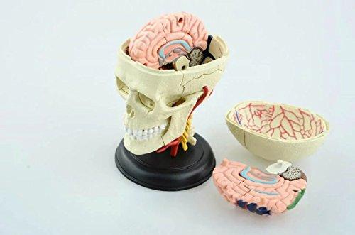 頭蓋骨と脳解剖モデル 人体解剖モデル 人体解剖模型 解剖モデル