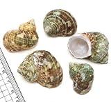 【貝殻パーツ】ミドリサザエ  1個