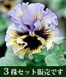 パンジー フリル咲き フリズルシズル イエローブルースワール 10.5cmサイズ大ポット 3ポットセット パンジー ビオラ すみれ 苗 寄せ植え