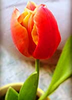103pcs / bagチューリップフローレア盆栽花plantas、美しいチューリップpotted多年生のホームガーデンチューリップ植物:20