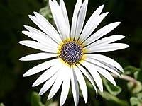 40 Arctitos白いアフリカのデイジーの花の種/年次