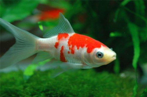 金魚 コメット 1匹 (約6~8cm) [生体]