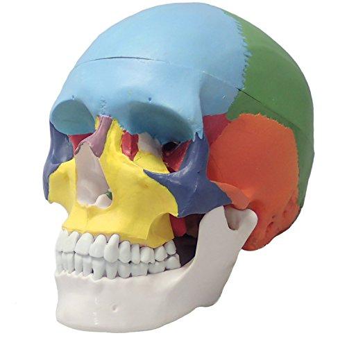 [Fellezza] 頭蓋骨 可動式頭蓋模型 歯模型 骨格 分解可能 実物大