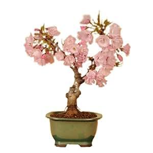 盆栽:一才桜*(瀬戸焼緑長方鉢)【5月以降は葉姿でのお届けとなります】