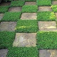 200個の種子Rupturewortグリーンカーペットグランドカバーの種(コゴメビユ)