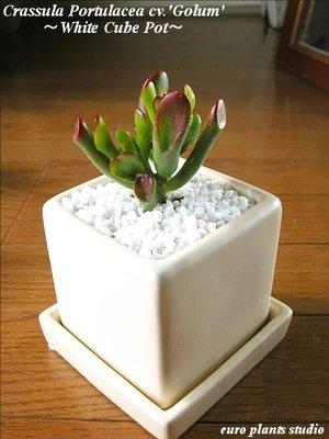 Crassula Ovata 'Gollam' / White Cube Pot / 宇宙の木★クラッスラ・ゴーラム / ホワイトキューブポット / インテリア観葉植物 / 鉢植え