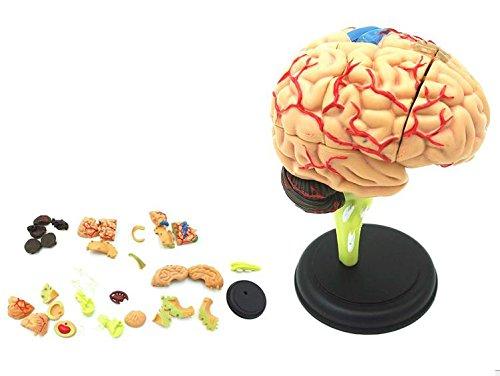 ShopXJ 脳 人体模型 立体 分解 可能 医療 取り外し 解剖 4D モデル (脳)