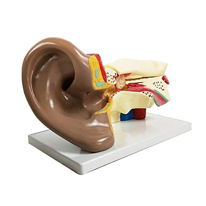 熟達した確実終わりモデル教材、教育モデル科学的人間の耳の解剖モデル教室での学習表示の教育用に4つのライフサイズに拡大