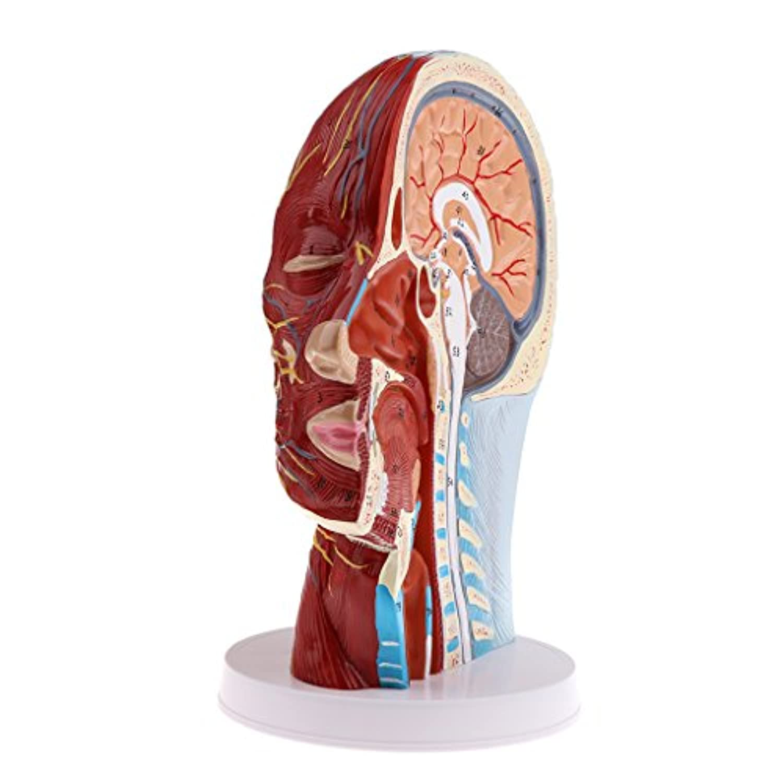 Perfk 血管筋肉モデル 表在血管 神経 顔面 筋肉神経 人間の器官模型 外科医学用 教育道具 解剖学 高精度 空間構造 1:1 3D印刷