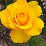 バラ苗 ヘンリーフォンダ 国産大苗6号スリット鉢 ハイブリッドティー(HT) 四季咲き大輪 黄色系