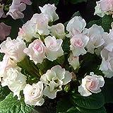 宿根草 バラ咲き プリムラ ジュリアン ブライダルベル  1株 冬咲き 鉢植え 庭植えガーデニング 寄せ植え等に