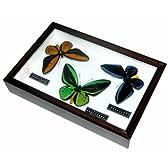 名和昆虫博物館 企画・製作 魅惑の翅を持つ美しいメガネトリバネアゲハ蝶のセット標本