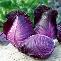 ポリフェノールを含む赤紫とんがりキャベツ 6粒 F1 新品種