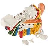 CUTICATE 知育 学習玩具 科学 サイエンス 人体 生物学 耳の構造 モデル 解剖学 実験室 学校 教育教材